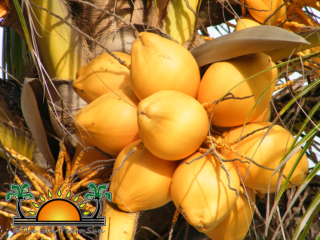 Coconuts The Heart Of Caribbean Cuisine And Culture My