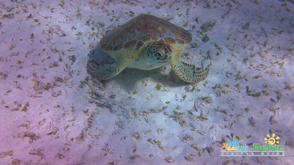 Marine life at Hol Chan 4