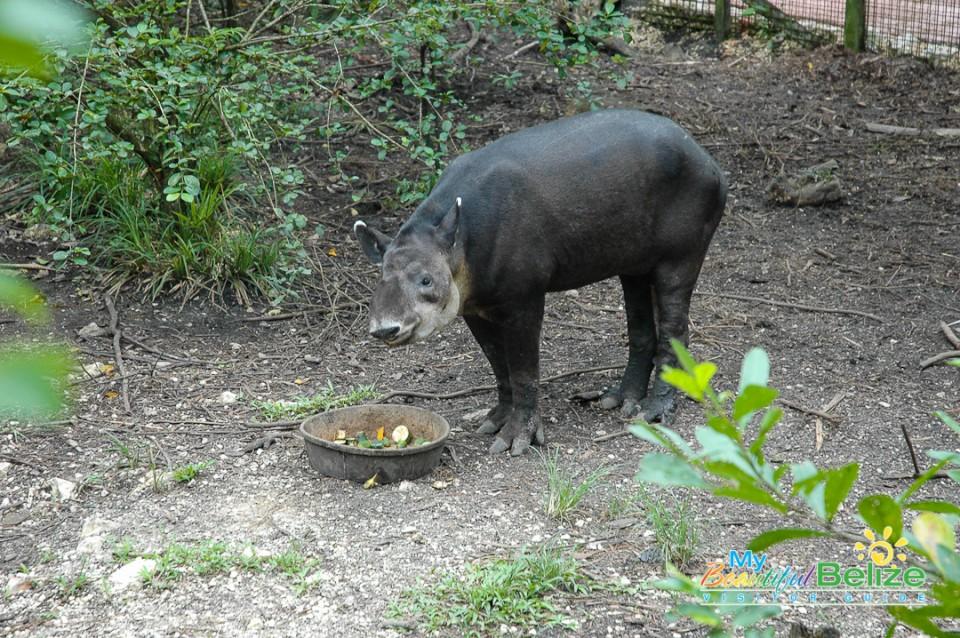 April the Tapir-1
