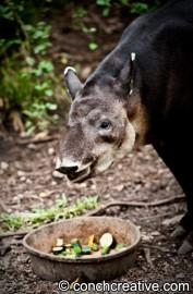 Tapir-Conch-Creative