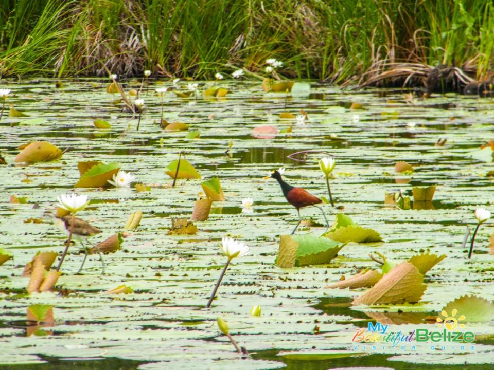 New River Lamanai Story-1