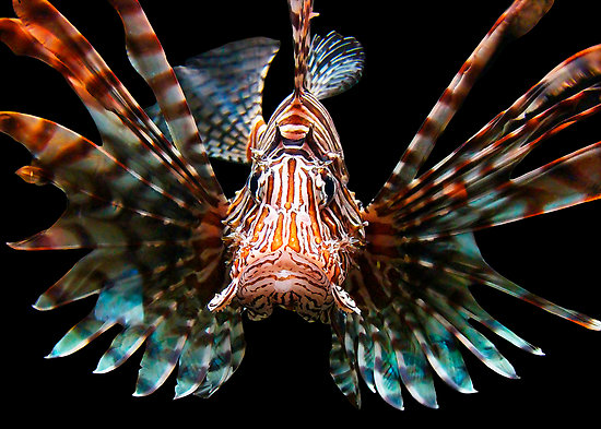 Lionfish - Michael Sheridan