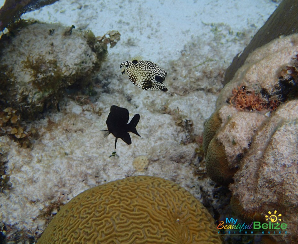 Spotted trunkfish with dusky damselfish.