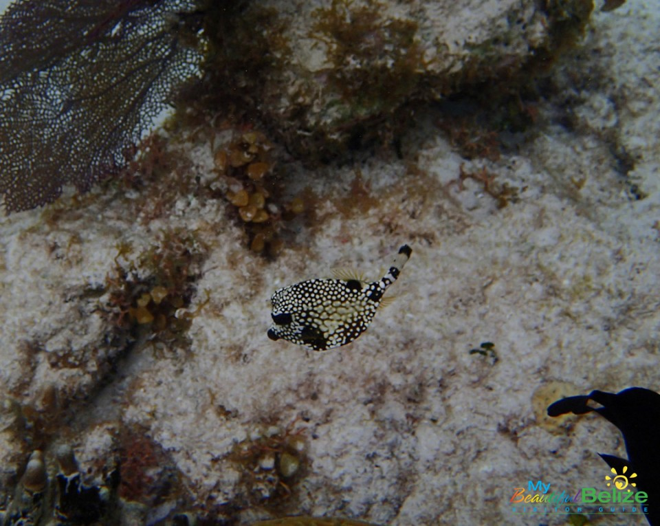 Spotted-trunk-fish-3