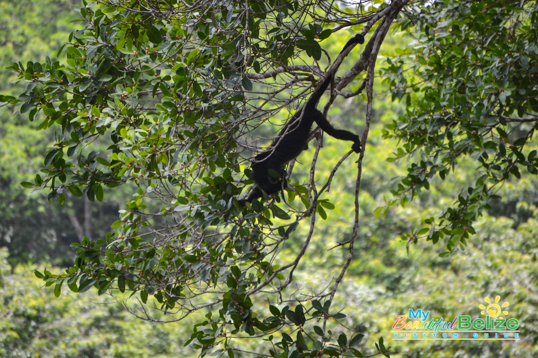 Black Howler Monkey-1