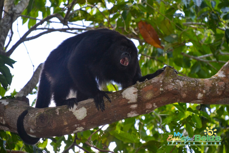 Black Howler Monkey-2