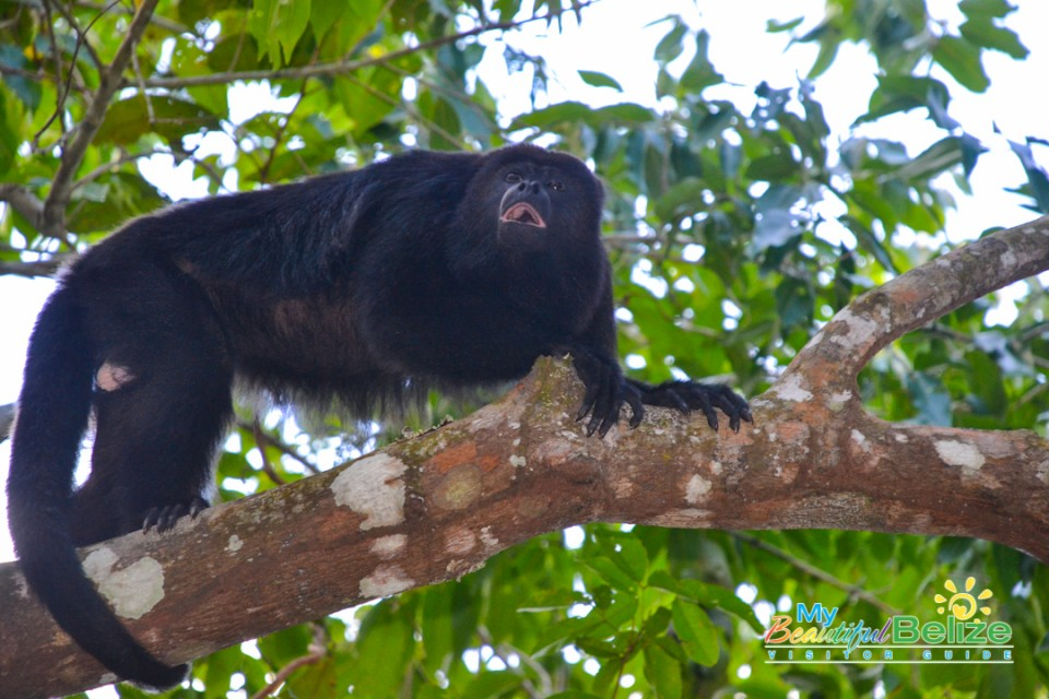 Black Howler Monkey-3