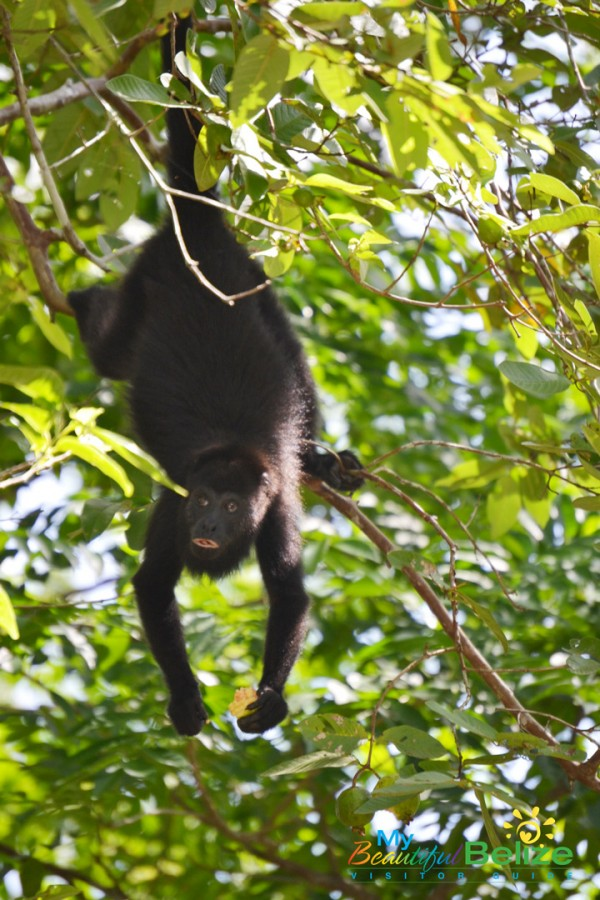 blackhowlermonkeys-1