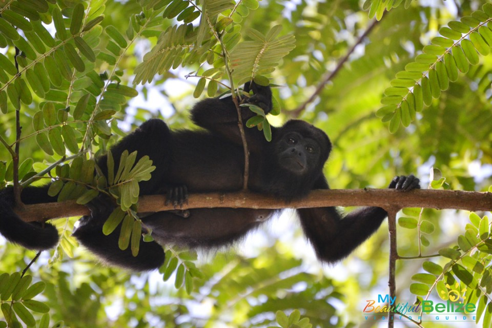 blackhowlermonkeys-2