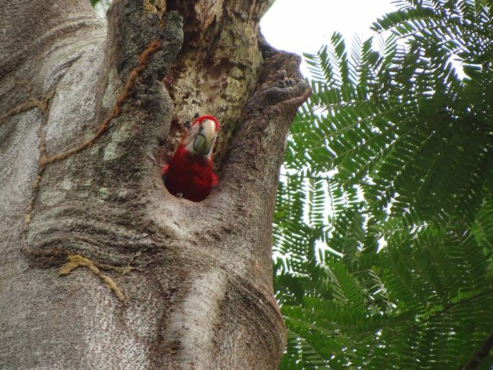 Nests are made in hollowed areas in trees, usually in the upper canopy of rain forests.