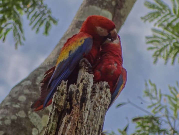 Scarlet macaws form monogamous pair bonds that last for life.