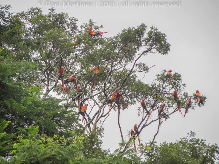 Scarlet macaws are found high in the canopy of rainforest habitats below 1,ooo m.