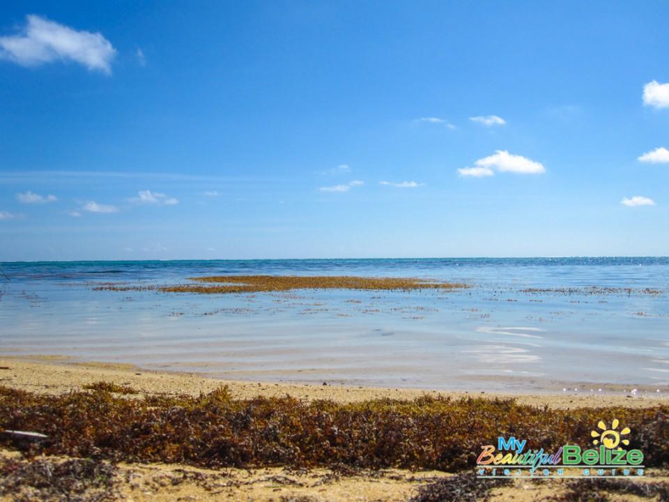 Sargasso Sargassum Seaweed Ambergris Caye-5