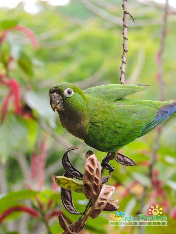 Belize Bird Rescue Parrot Bird Sanctuary-11