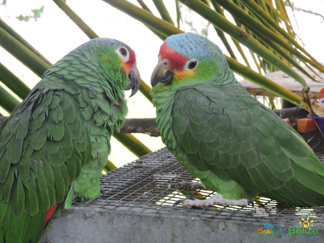 Belize-Bird-Rescue-Parrot-Bird-Sanctuary-18