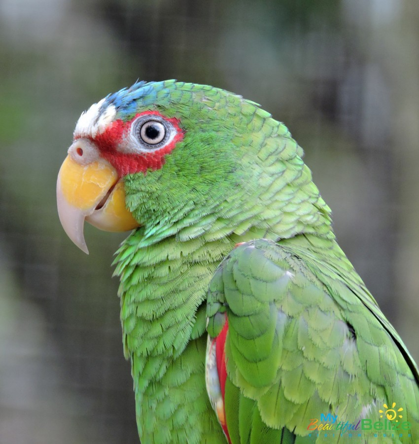 Belize-Bird-Rescue-Parrot-Bird-Sanctuary-19