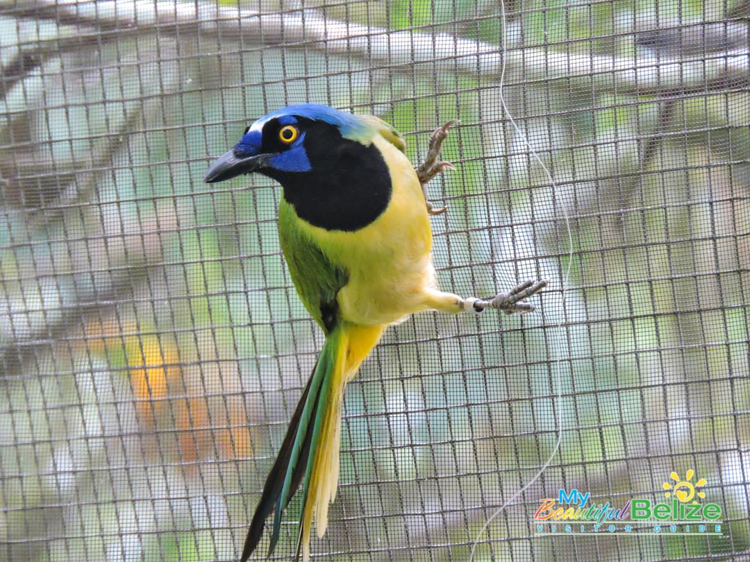 Belize Bird Rescue Parrot Bird Sanctuary-4