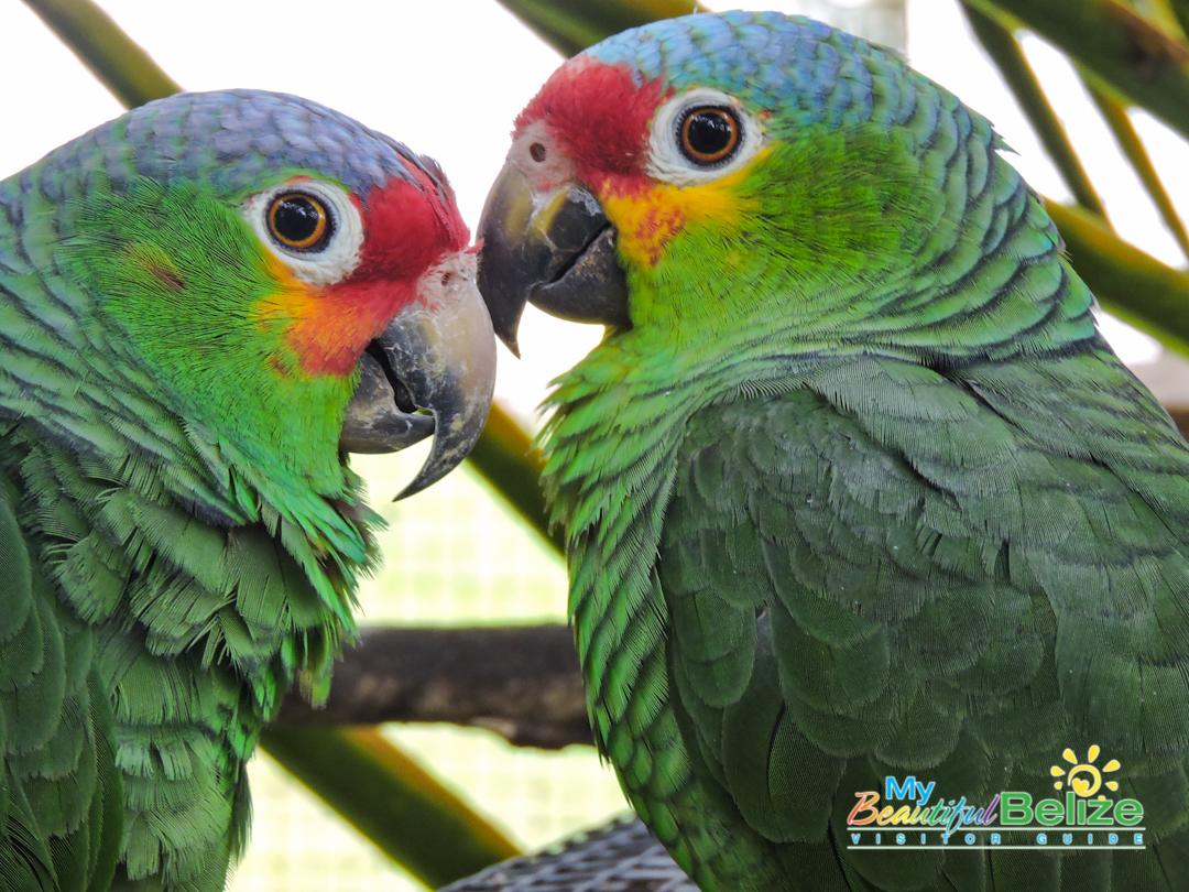 Belize Bird Rescue Parrot Bird Sanctuary-8
