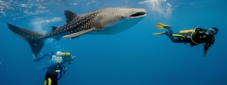 Scba-Diving-Whale-Sharks-Belize-1024x384
