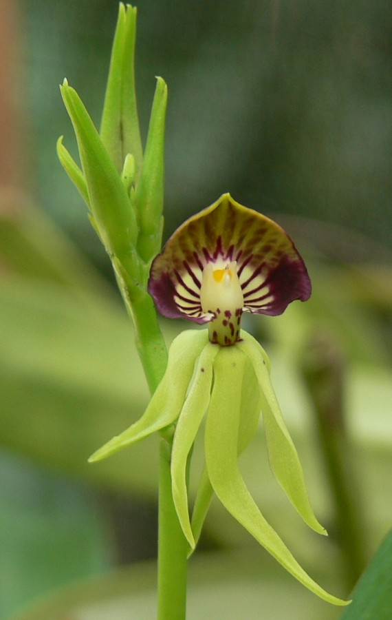 Our National Flower The Black Orchid My Beautiful Belize