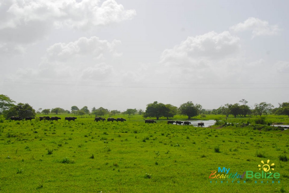 Water Buffalo in Orange Walk-1
