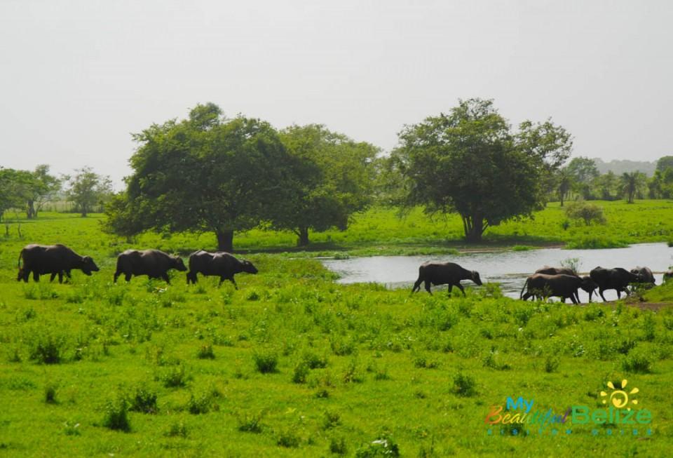 Water Buffalo in Orange Walk-3