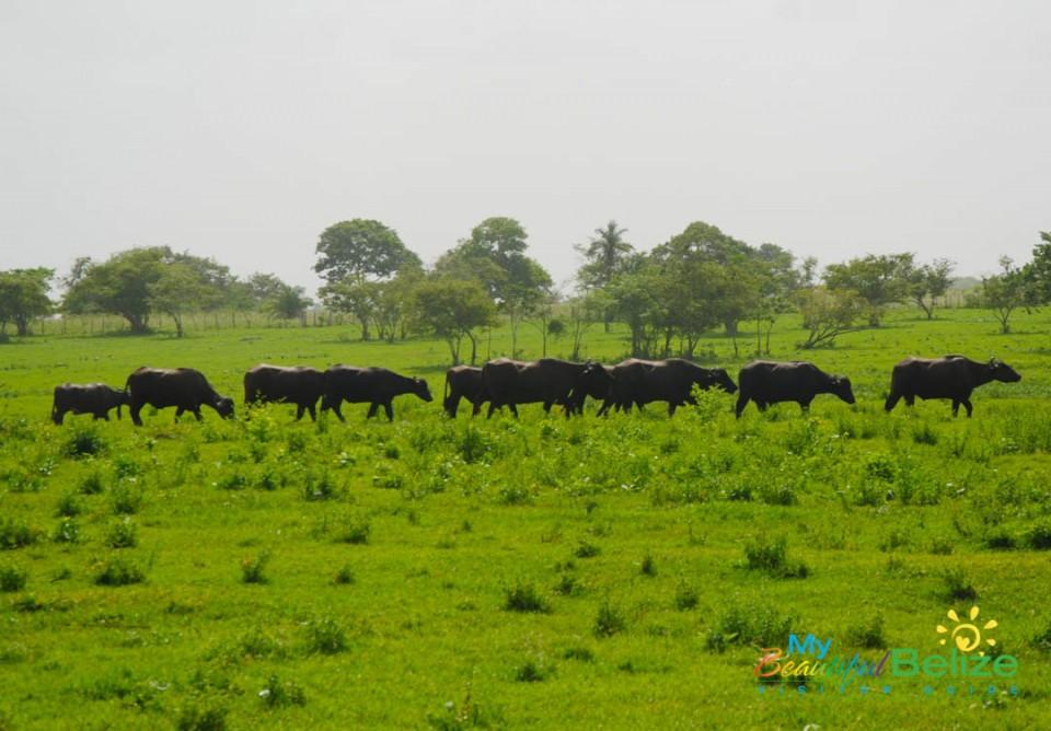 Water Buffalo in Orange Walk-4