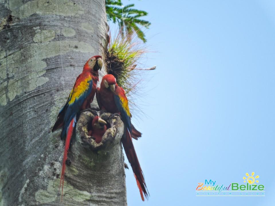 scarlet-six-macaw-biomonitoring-team-chiquibul-roni-martinez-20