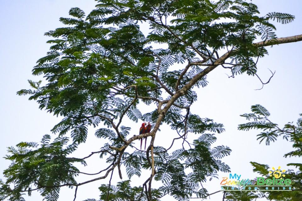 scarlet-six-macaw-biomonitoring-team-chiquibul-roni-martinez-24