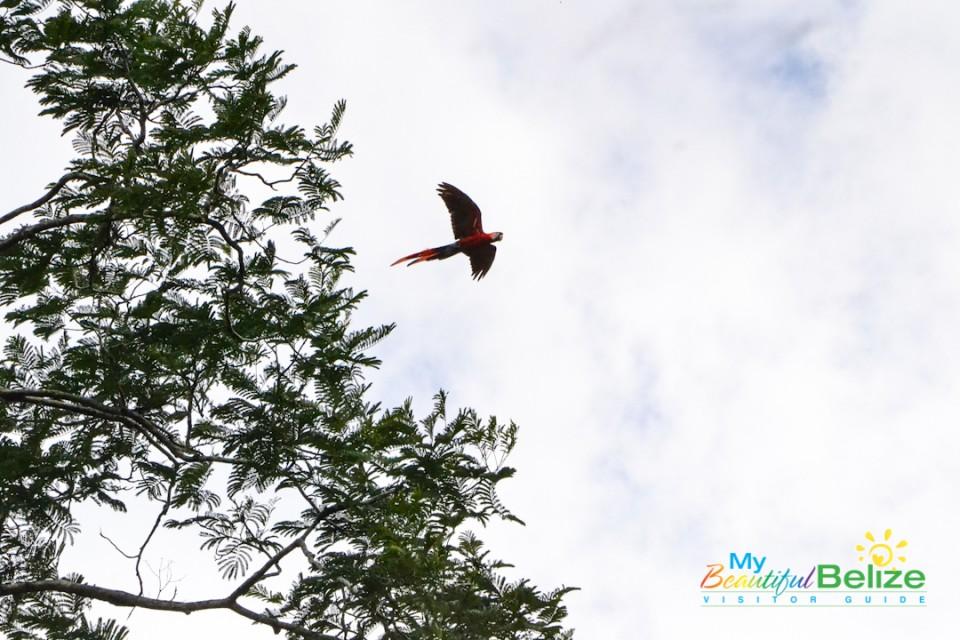 scarlet-six-macaw-biomonitoring-team-chiquibul-roni-martinez-30