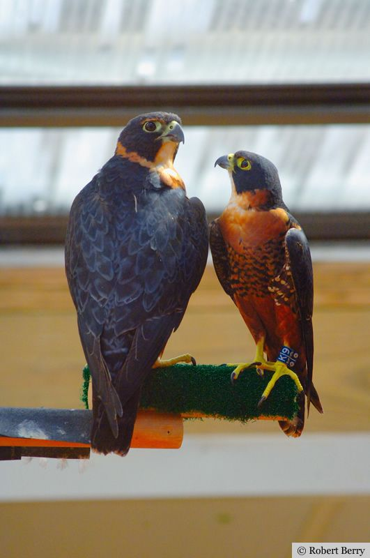 The female OBF (l) is larger than the male.